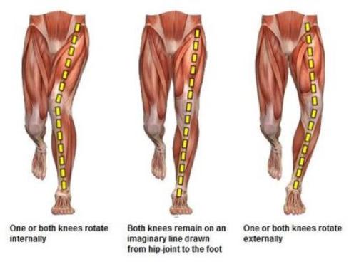 Leg muscles.png